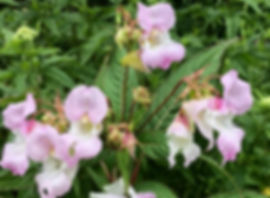 Himalayan Balsam - Impatiens glandulifera - flowers
