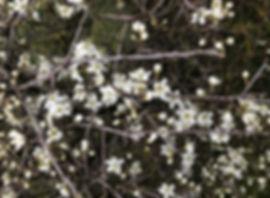 Blakcthorn - Prunus spinosa - flowers