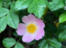 Rose - Rosa spp