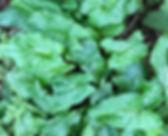 Lords and Ladies - Arum maculatum