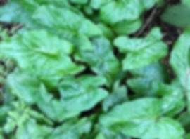 Lords and Ladies - Arum macultatum