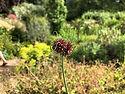Crow Garlic Flower