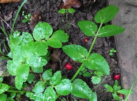 Fool's Watercress - Apium nodiflorum - is also edible despite its common name