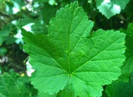 Redcurrant - Ribes rubrum leaf