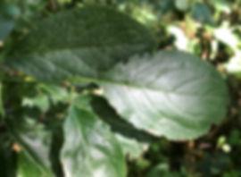 Bullace or Greengage - Prunus insititia - leaves