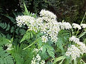 Sweet Cicely flower