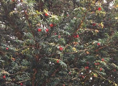 English Yew - Taxus baccata