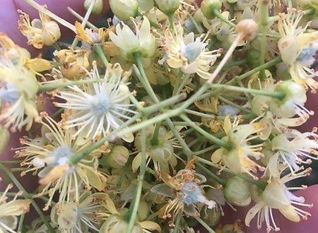 Common Lime - Tilia x Europaea - flowers