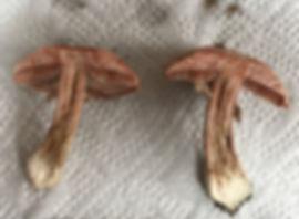 Blushing Wood Mushroom - Agaricus sylvaicus