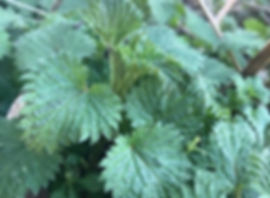 Common Nettle - Urtica dioica - one of the most nutritious plants to be found