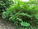 Salmonberry habitat