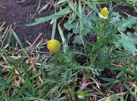 Pineapple Weed - Matricaria discoidea