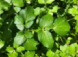 Alexanders leaf - Smyrnium olusatrum