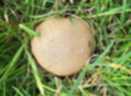Common Earthball - Scleroderma citrinum