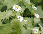 Jack by the hedge or garlic mustard whol