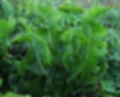 Horseradish - Armoracia rusticana