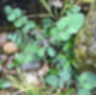 Smooth Sow-thistle - Sonchus oleraceus