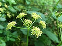 Alexanders flowers
