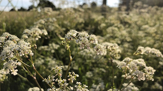 Cow Parsley strip