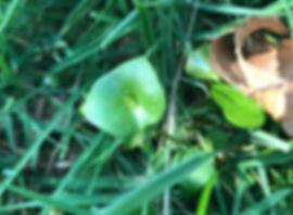 Miner's Lettuce - Claytonia perfoliata