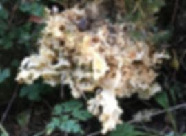 Cauliflower Fungus - Sparissis crispa