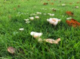 Snowy Waxcap - Cuphophyllus virgineus