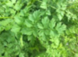 Hemlock Water Dropwort - Oenante crocata - leaf