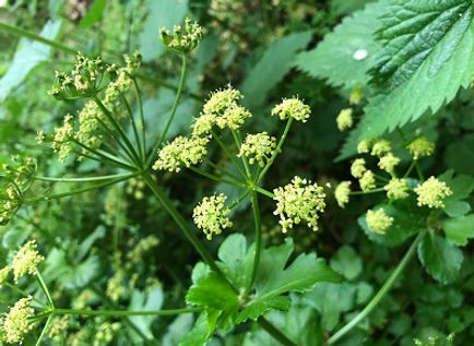 Alexanders on a foraging course in Hunstanton, Norfolk