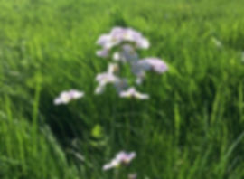 Lady's Smock - Cardamine pratensis