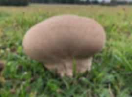 Mosaic Puffball - Lycoperdon utriforme