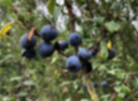 Blackthorn - Prunus spinosa - fruit
