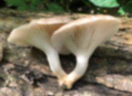 Branche Oyster - Pleurotus cornucopiae - stem