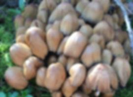 Glistening Inkcap - Coprinellus micaceus