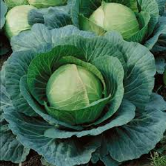 ball head danish cabbage.png