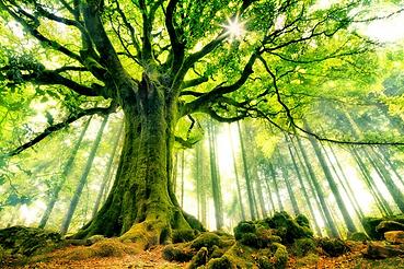 14 les_plus_beaux_arbres_du_monde_hetre