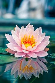 fleur lotus 1.jpg