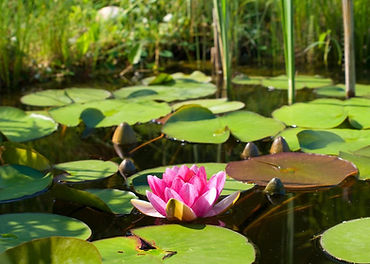110564__flower-rose-water-lily-lotus-lil