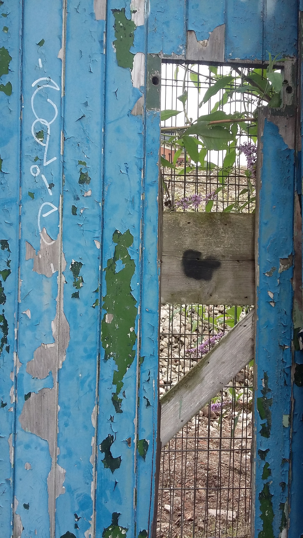 Cracked blue painted door with panel missing, looking onto building site with buddleia