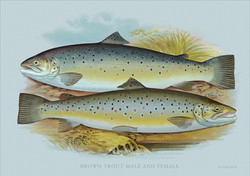 Coloured engraving of Trout