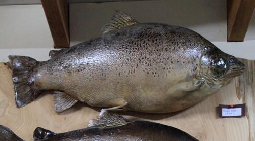 Fattest fish ever?.JPG