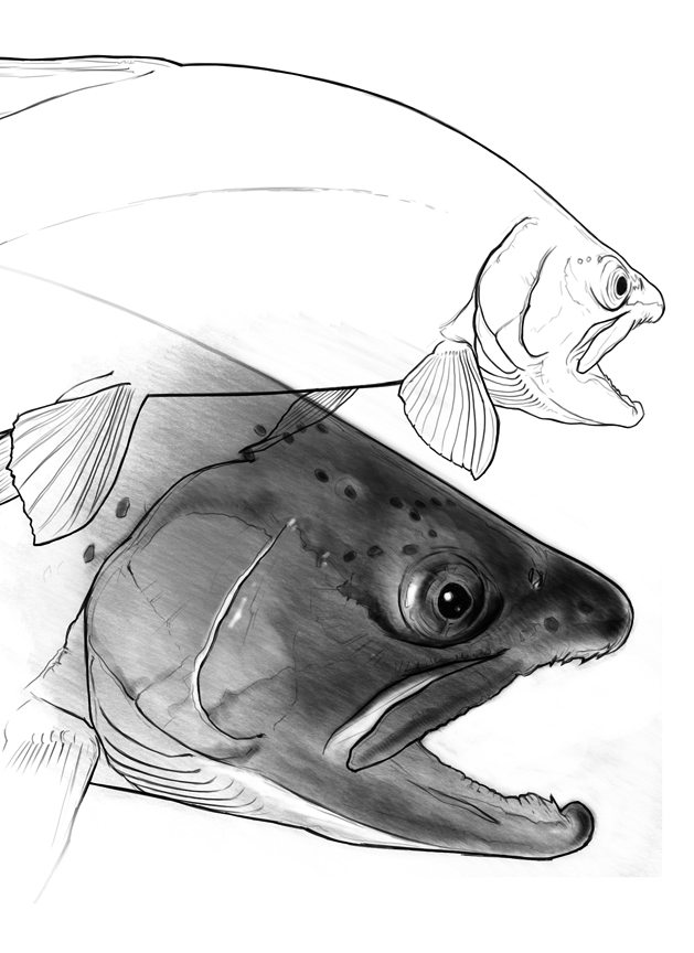 Trout Drawing.jpg
