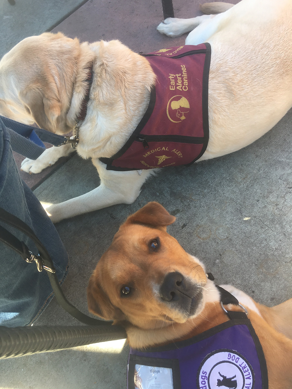 Meeting fellow service dogs for coffee to practice focus in public with other dogs present