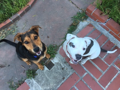 Luca and Gilligan sitting during a training session.