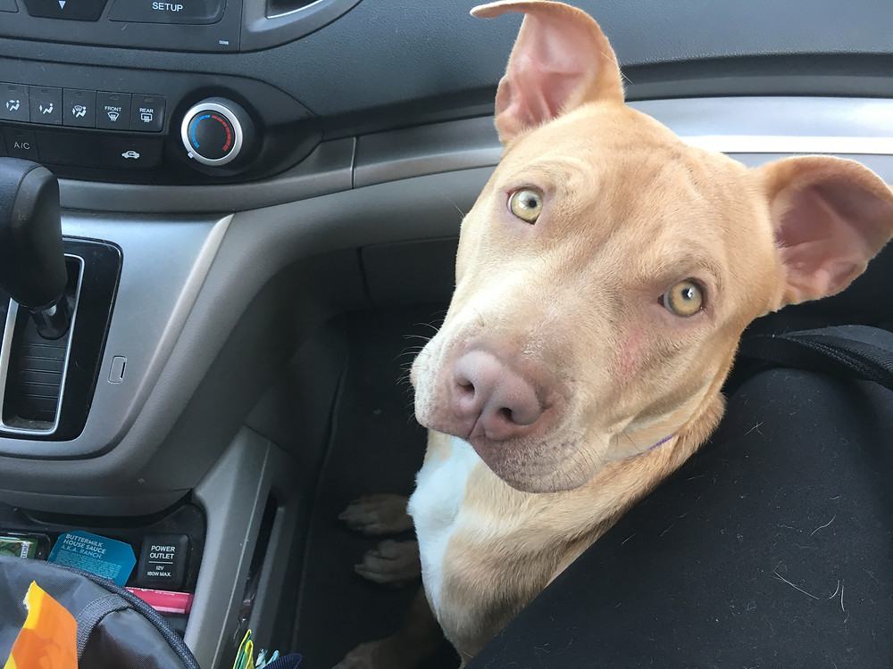 Luna in the car on the way to the pet store