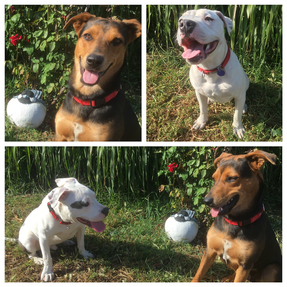 Gilligan & Luca; rescue dogs currently in training