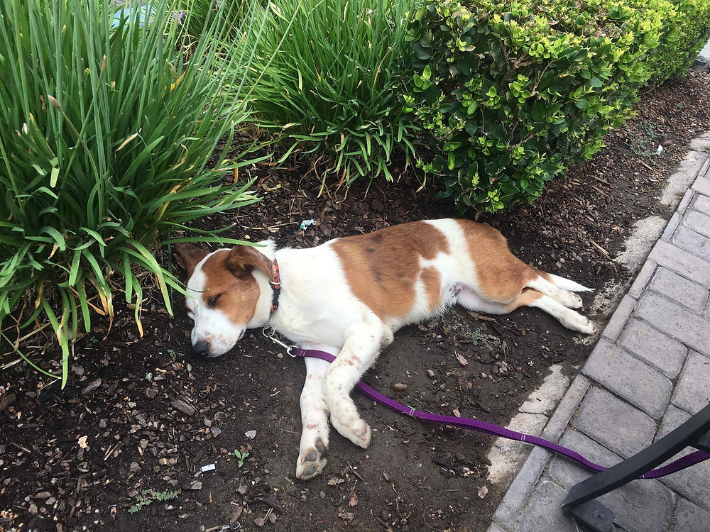 Dodger sleeping in the flowerbed at Starbucks in Fresno