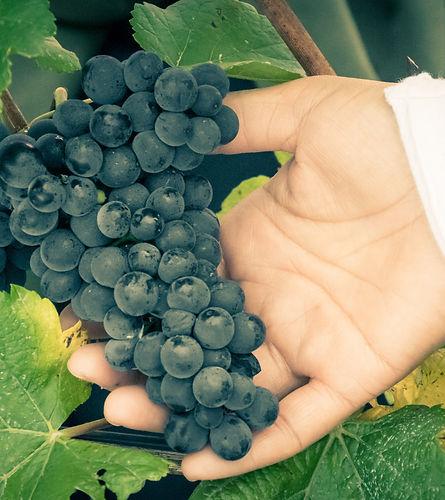 Pinot Nor