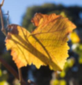 Pinot Noir Vine Autumn