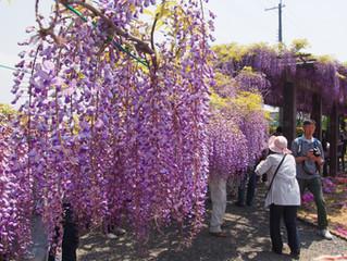 京都~紫藤祭5/19~22