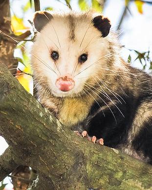bigstock-Opossum-on-tree-branch-82416749